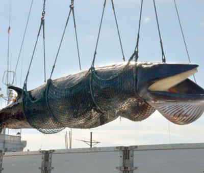 caza de ballenas japon