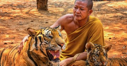 tigres templo tailandia