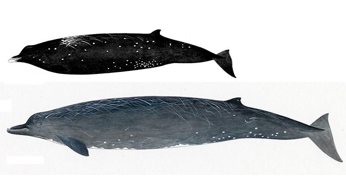 nueva especie ballena
