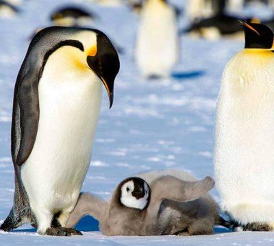 pinguinos antártica