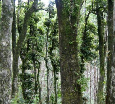 bosques nativos chile