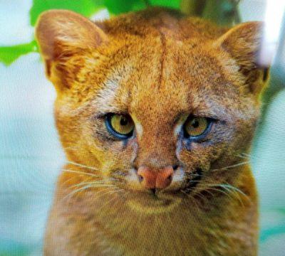 Mujer adopta a gatito pequeño pero después se entera que era un puma