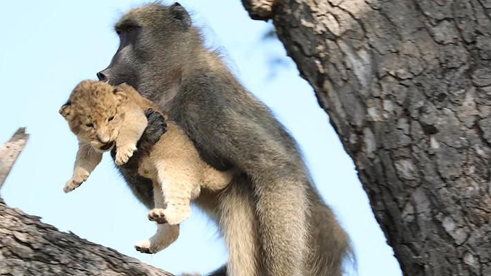León es cuidado por babuino