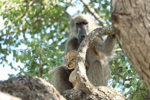 León es ciudado por babuino