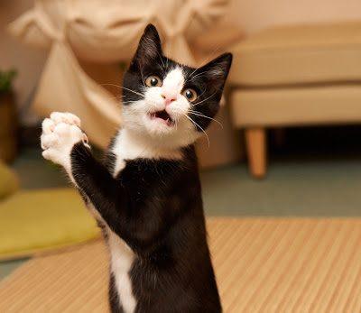 Gatos causan alergia en humanos debido a una sustancia de su saliva