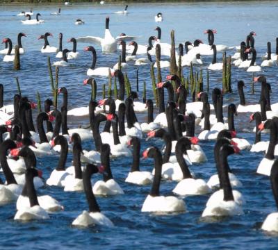 cisnes cuello negro valdivia2