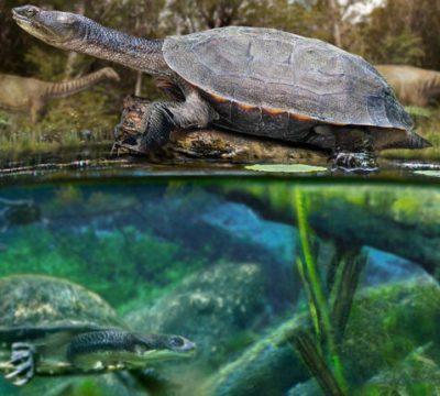 tortuga de agua dulce