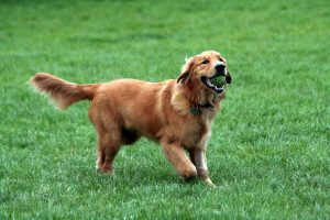 golden retrievers los perros mas inteligentes del mundo entero