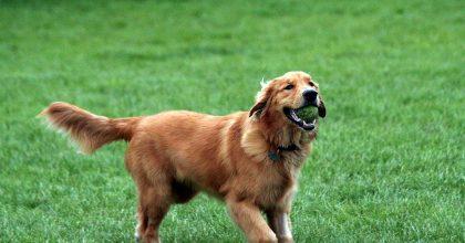 golden retrievers los perros mas inteligentes del mundo entero