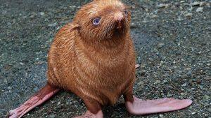 foca pelirroja
