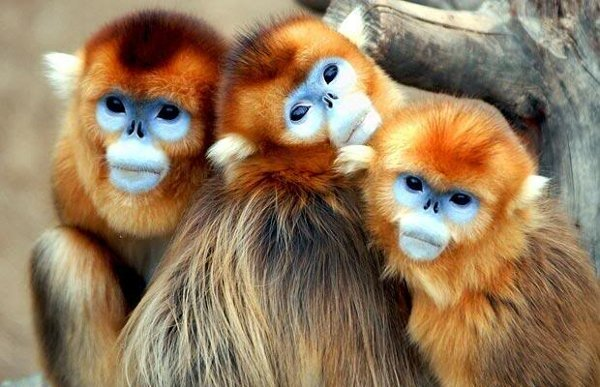 mono dorado