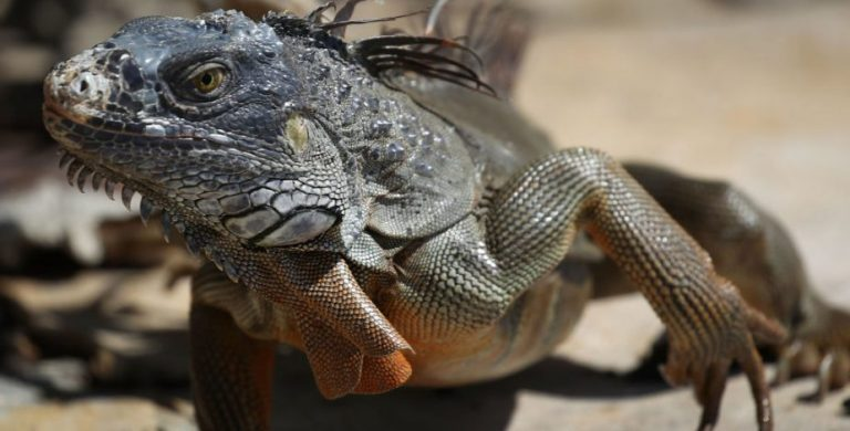 iguanas miami