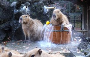 spa de carpinchos capibaras roedores