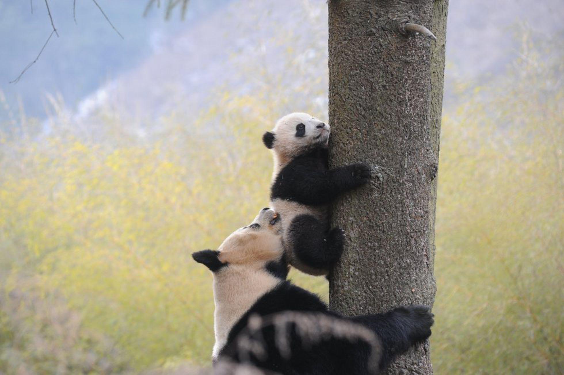 Dos pandas en el Centro Hetaoping de Investigación y Conservación en Wolong, en la provincia de Sichuan (China).