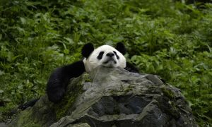 Giant Panda (Ailuropoda Melanoleuca); Wolong Nature Reserve, Sichuan Province, China