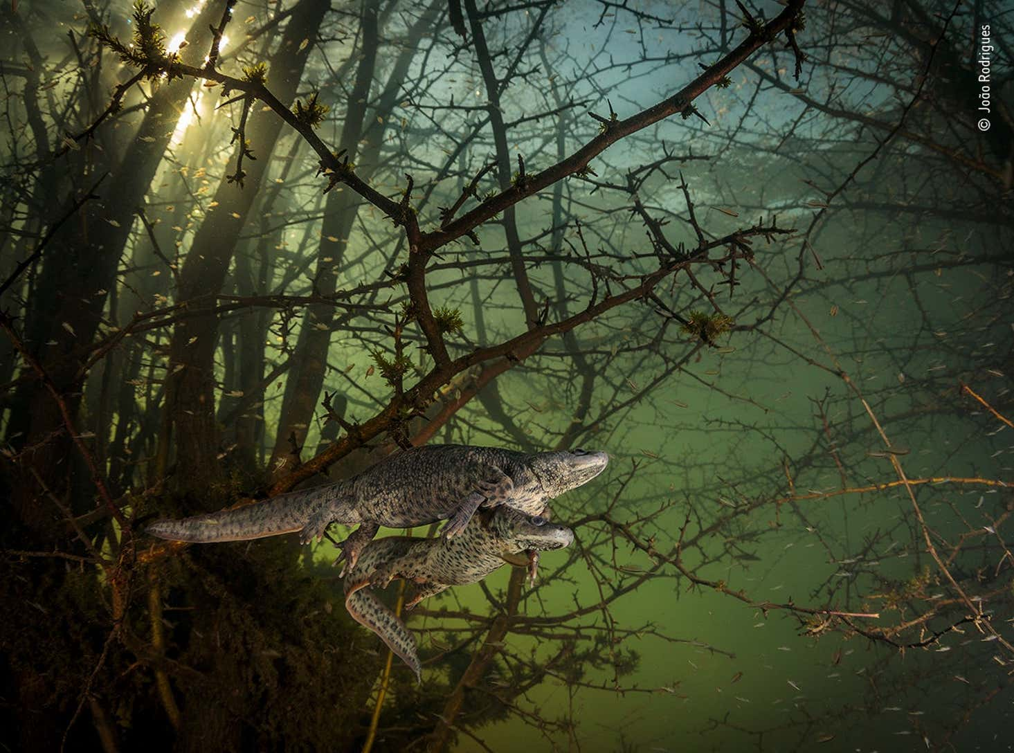 João Rodrigues Wildlife Photographer Of The Year