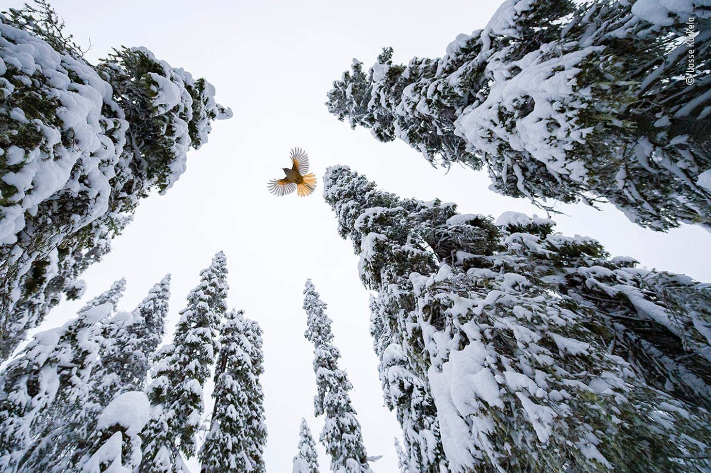 Lasse Kurkela Wildlife Photographer Of The Year