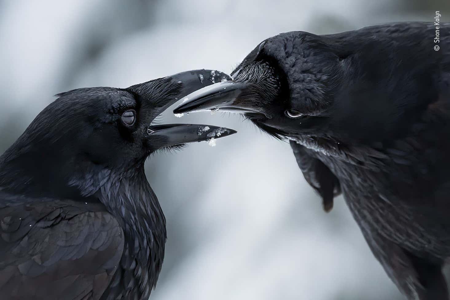 Shane Kalyn Wildlife Photographer Of The Year